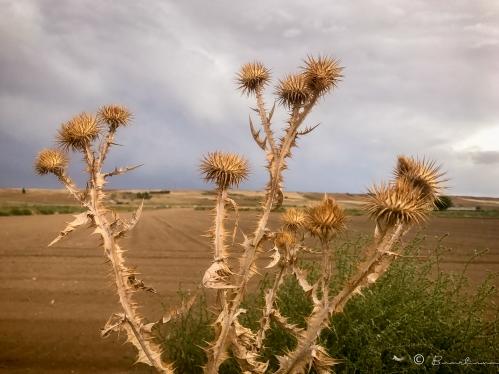 Cardon. Pueblos de España. Salamanca.